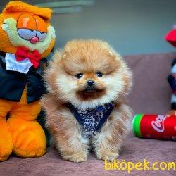 MiniBoy Yarışma Düzeyi PomeranianBoo Oğlumuz
