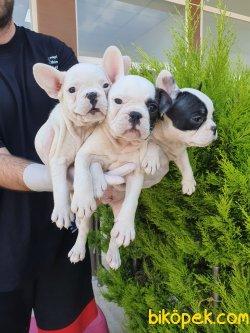 Minik Patili French Bulldog Bebeklerimiz