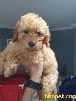 Minik Patili Poodle Bebekler 1