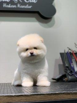 Minyatur Boy Aşı Karneli Pomeranian Boo Yavrularimiz