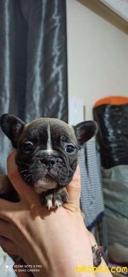 Muhteşem French Bulldog Yavrular 4