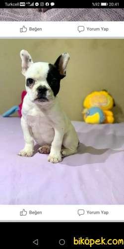 Muhteşem French Bulldog Yavrular 1