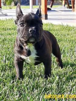 Muhteşem Guzellikte Fransız Bulldog Yavruları
