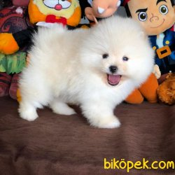 Muhteşem Kalitede Olan Pomeranian Boo Yavrumuz