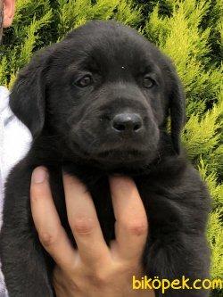 Muhteşem Labrador Retriver Yavrular