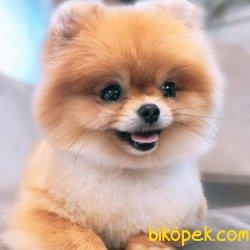 Muhteşem Pomeranian