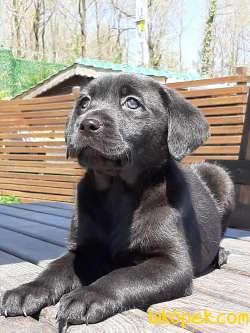 Muhteşem Siyah Labrador Retriever Yavrulari