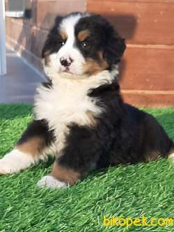 Mukemmel BERNESE MOUNTAIN DOG YAVRULARI