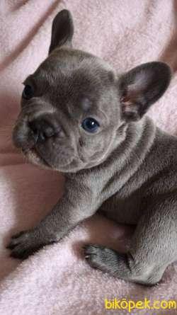 MÜKEMMEL French Bulldog Blue  Yavruları 1