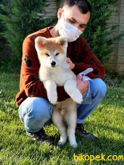 SAFKAN SATILIK  Japon Akita İnu Yavrularimiz ( Hachiko ) 2