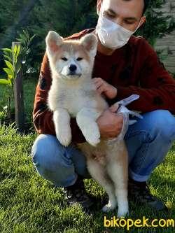 SAFKAN SATILIK  Japon Akita İnu Yavrularimiz ( Hachiko ) 1
