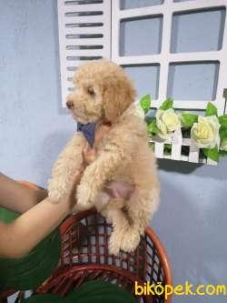 Mükemmel Toy Poodle Yavru