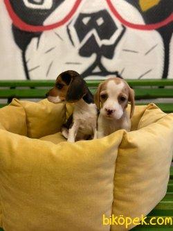 Orijinal Irk Garantili Beagle Yavrular 2