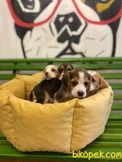 Orijinal Irk Garantili Beagle Yavrular 4