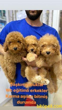 Orijinal Irk Garantili Toy Poodle Yavrular