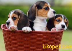 Orijinal Irk Ve Sağlık Garantili Beagle Yavrular