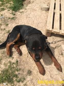 Orijinal Macar Rottweiler 9 Aylık Aşı Karnesi Tam 3