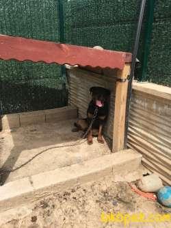Orijinal Macar Rottweiler 9 Aylık Aşı Karnesi Tam 5