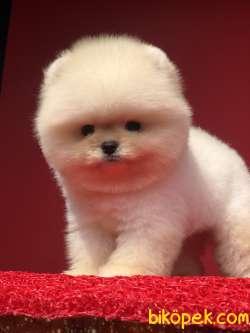 A Kalite Pomeranian Yavrumuz Gelmişti R