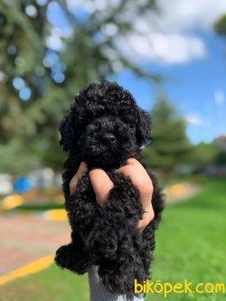 Orjinal Black Toy Poodle Yavrularimiz 3