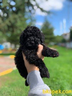 Orjinal Black Toy Poodle Yavrularimiz 2