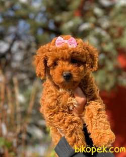 Orjinal Red Brown Toy Poodle Yavrular
