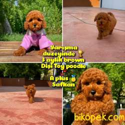 Orjinal Renk Safkan Red Brown Toy Poodle Kızımız Milka Yavrupati