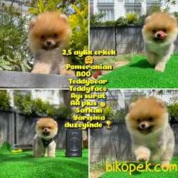 Orjinal Renk Ve Sınıf Boo Pomeranian Oğlumuz  Pooh Yavrupatiler