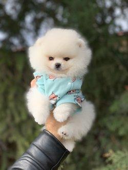 Orjinal Safkan Ayi Surat Pomeranian Boo Yavrularimiz