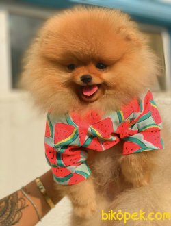 Orjinal Teddy Bear Pomeranian Boo Irk Belgeli 1