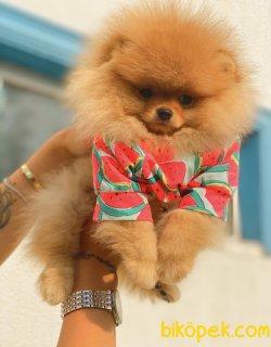 Orjinal Teddy Bear Pomeranian Boo Irk Belgeli 2