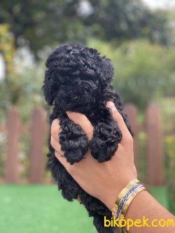 Satılık Orji̇nal Toy Poodle Bebekler 3