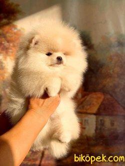 Orjünal Pomeranian Boo 3