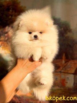 Orjünal Pomeranian Boo 1
