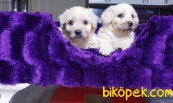 Satılık Maltese Terrier Yavrularımız