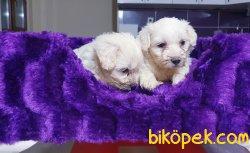 Satılık Maltese Terrier Yavrularımız 2