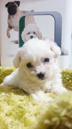 Bembeyaz Maltese Terrier Yavrusu
