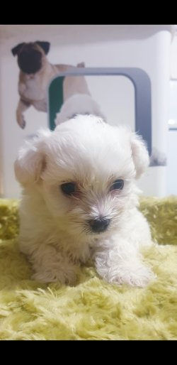 Bembeyaz Maltese Terrier Yavrusu 3