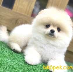 Pomeranian 1