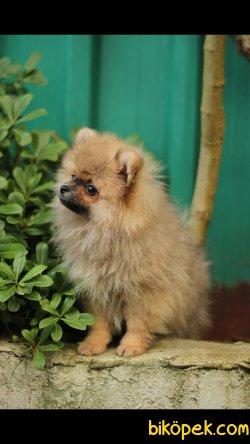 Pomeranian 'Akkuş Üretim Çiftliği'