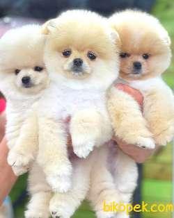 Pomeranian Boo Ayı Surat Tedbear