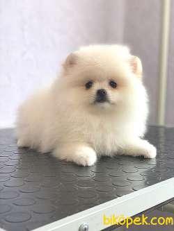 Pomeranian Boo Yavrularımız 4