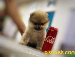 Güvenilir Adresten Pomeranian Boo