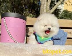Pomeranian Boo Anne Baba Secereli Yavrularımız 4
