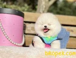 Pomeranian Boo Anne Baba Secereli Yavrularımız
