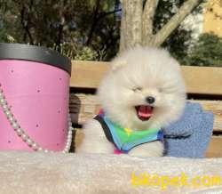 Pomeranian Boo Anne Baba Secereli Yavrularımız 3