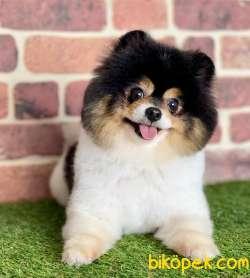 Pomeranian Boo Asilari Tam Tuvalet Eğitimli Belgeli