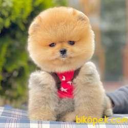 Pomeranian Boo Ayı Surat Garantili Safkan Secereli Yavrularımız 4
