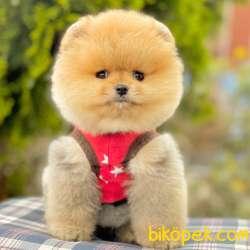 Pomeranian Boo Ayı Surat Garantili Safkan Secereli Yavrularımız 3