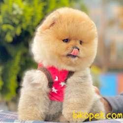 Pomeranian Boo Ayı Surat Garantili Safkan Secereli Yavrularımız 1